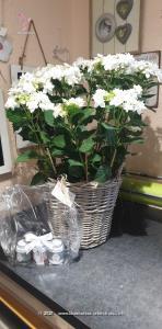 Hortensien verleihen jedem Balkon, Terrasse oder Garten einen eleganten Touch. Probieren Sie?s aus.