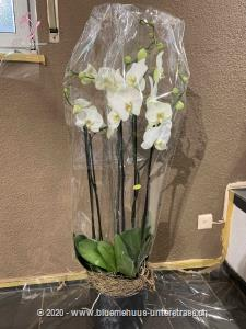 With this stylish orchid you have a gift that will inspire and make the recipient think of you for a long time. Whether birthday wishes, thank you, I love you or just because, this flower present fits to every occasion.  The picture corresponds to the middle price variant. The container may differ from the picture.