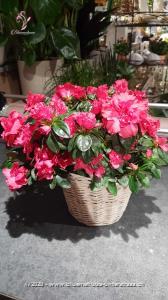 Für die Asiaten ist die Azalee ein Glückssymbol, das gerne zu Geburtstagen oder besonderen Anlässen verschenkt wird. Bei uns sind sie beispielsweise auch gern gesehene Gäste zu Weihnachten, Silvester oder Neujahr. Haben wir Sie auf eine Idee gebracht? Überraschen Sie doch jemanden mit dieser blütenreichen Pflanze.     Diese Azalee wird in einem Korb überbracht.