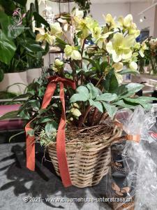 Die Christrose steht wie keine andere Blume für die Schönheit des Winters. Machen Sie jemandem eine Freude die noch lange anhalten wird.    Diese Pflanze für Balkon oder Terrasse wird bei guter Pflege lange Freude bereiten.    Das Bild entspricht der mittleren Preisvariante. Das Gefäss kann vom Bild abweichen.