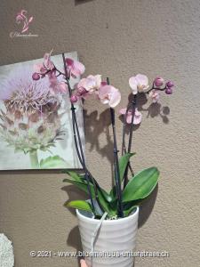 Mit dieser edlen Orchidee hat man ein stilvolles Präsent, das unvergesslich bleibt.    Ob Geburtstagswünsche, Dankeschön, ich liebe dich oder einfach so, dieses Blumengeschenk passt zu jedem Anlass.    Diese Zimmerpflanze wird bei guter Pflege lange Freude bereiten.    Das Bild entspricht der mittleren Preisvariante. Das Gefäss kann vom Bild abweichen.