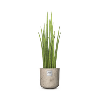 William (Sansevieria Mikado)