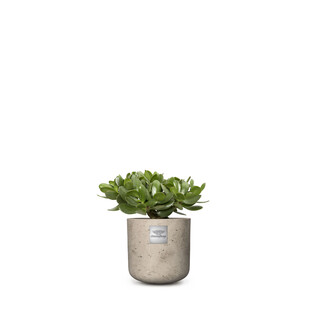 Bill (Crassula ovata)