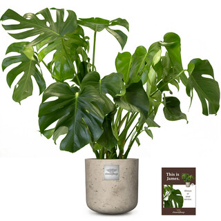 James (Monstera)